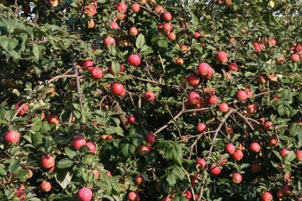Выбираем лучшие сорта яблонь для умеренной климатической зоны