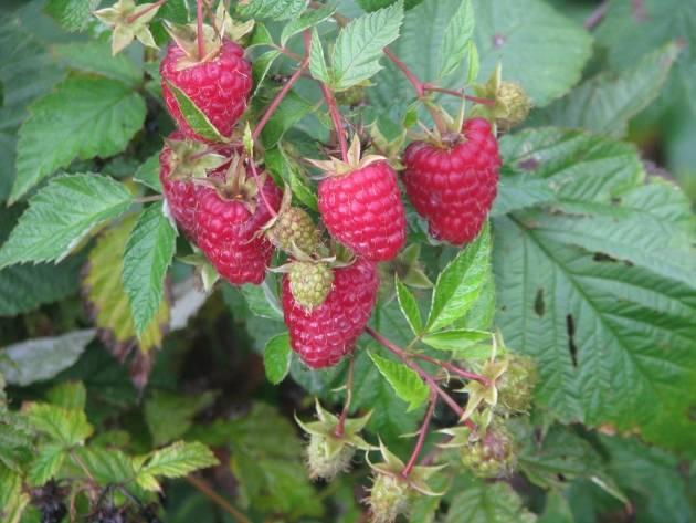 Посадка, выращивание и уходу за малиной летом по советам бывалых садоводов