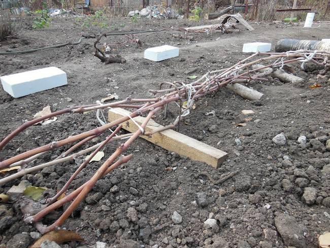 Как подготовить виноград к зиме, правильные способы укрытия и утепления