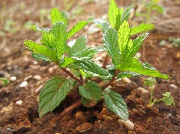 Мята Земляничная: описание сорта, выращивание и уход с фото
