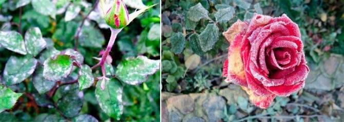 Как эффективно бороться с мучнистой росой на розах