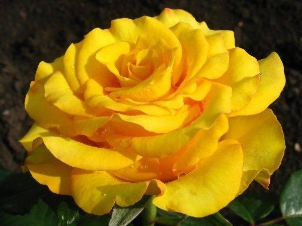 Роза керио: описание сорта, как выглядит цветок