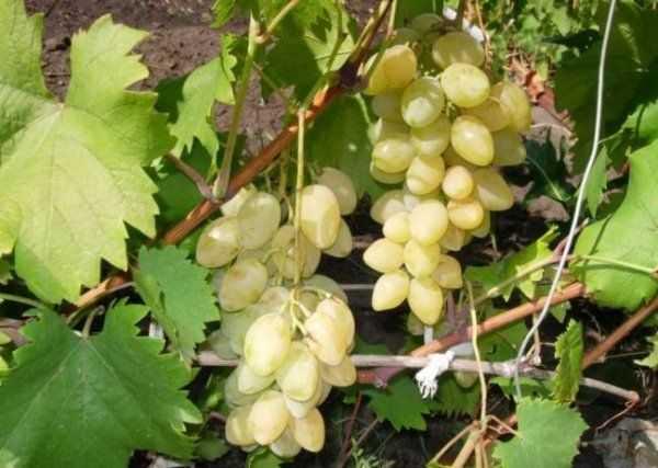 Описание винограда сорта розмус, правила посадки и ухода