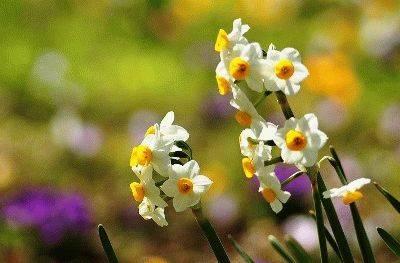 Цветок ифейон посадка и уход в открытом грунте и домашних условиях размножение фото сортов