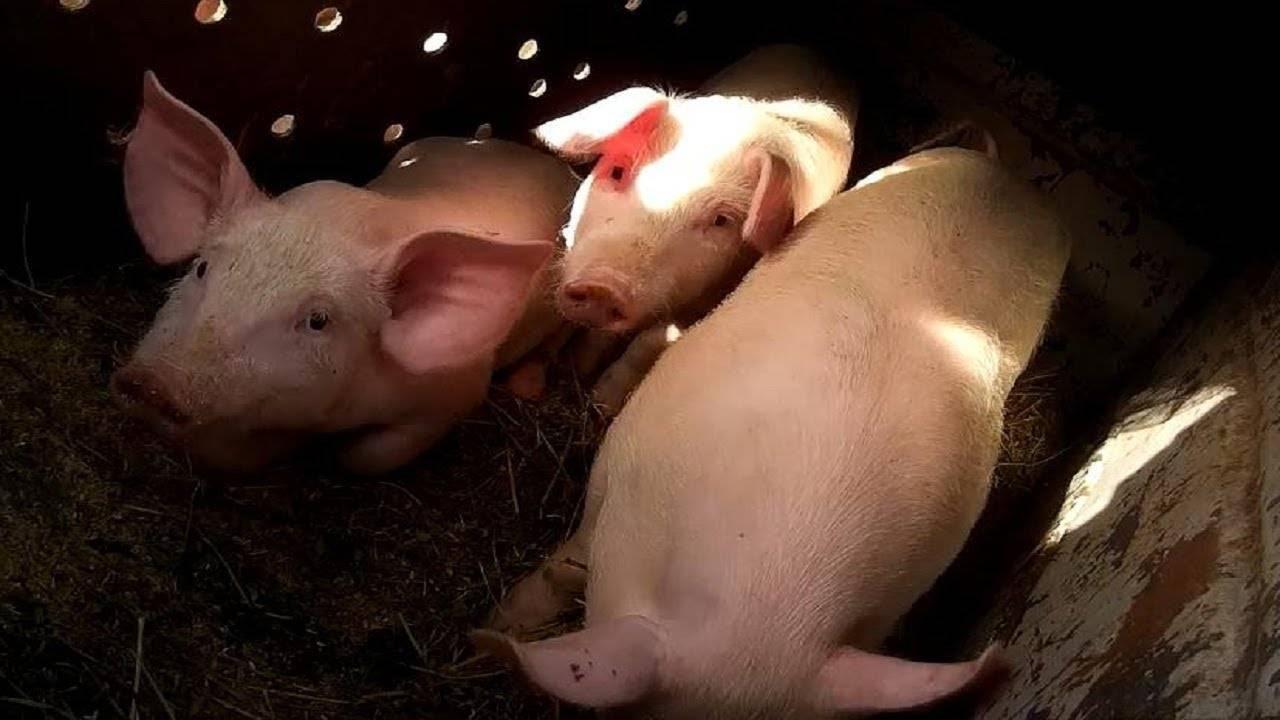 Какая температура у свиней считается нормальной?