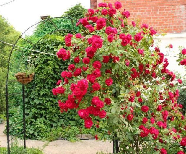 Роза флорибунда посадка и уход в открытом грунте лучшие сорта с фото названиями и описаниями