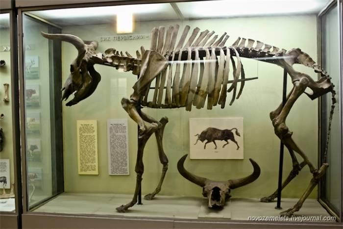 Вымершее древнее животное дикий тур — предок коров и быков. тур: животное и его образ размножение и продолжительность жизни тура