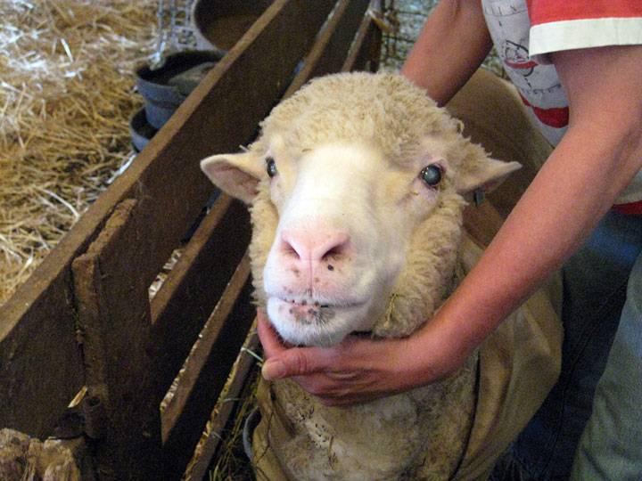 Овца меринос: распространение породы в австралии, основные преимущества, правила разведения