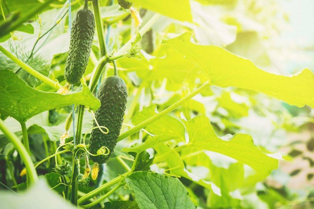 «огурец бьерн f1»: правила выращивания и ухода