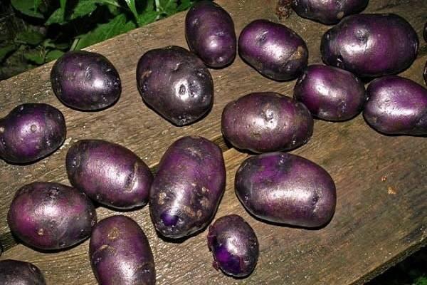 Характеристика сортов фиолетового картофеля и их фото. польза и вред корнеплодов и особенности агротехники
