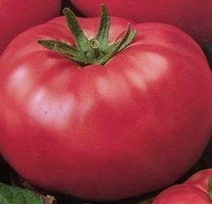 Отличительные характеристики плодов сорта томата «груша розовая»