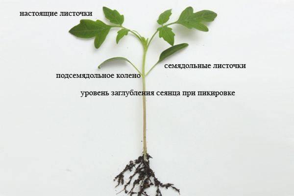 На какую глубину сажать семена помидор на рассаду