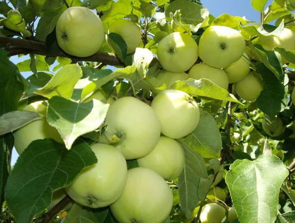 Яблоня Бумажное: описание и характеристики сорта, виды и урожайность