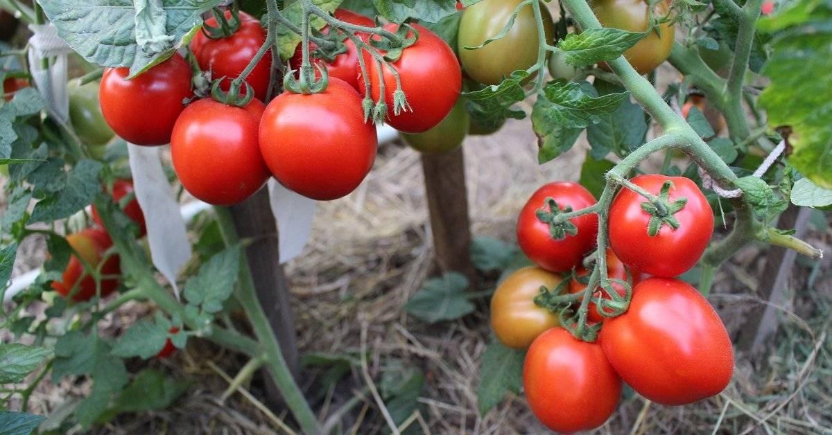 Урожайные томаты для ленивых