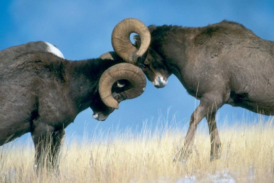 В чем разница между бараном и овцой и как распознать самку и самца