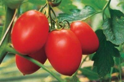 Описание и характеристики популярного морозостойкого ультраскороспелого сорта томата «санька»