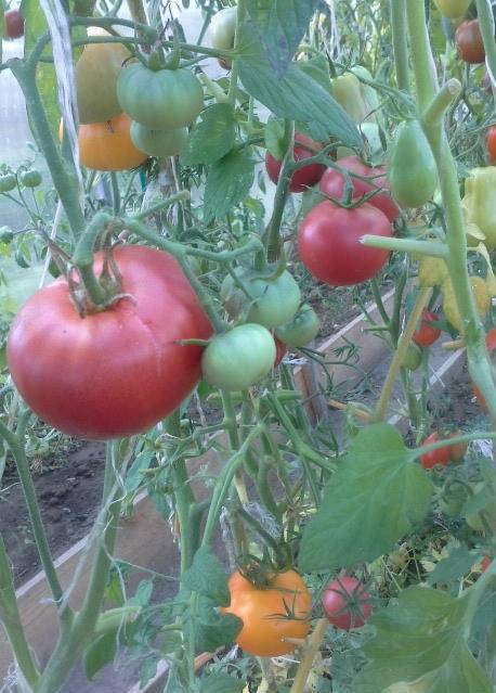Описание сорта томата монти f1 и его характеристики