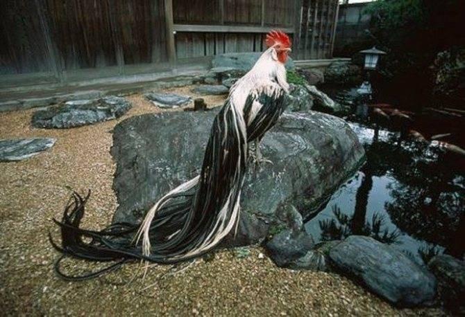 Описание породы кур феникс