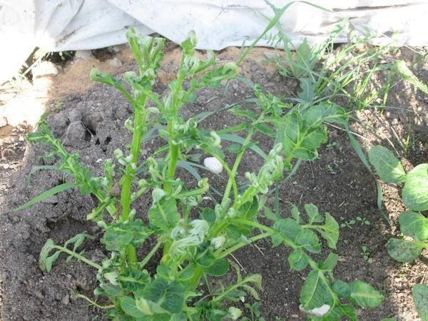 Скручиваются листья у картофеля: причины и как бороться