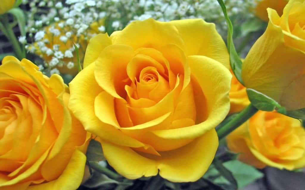 Описание и характеристики сорта роз Керио, выращивание и уход