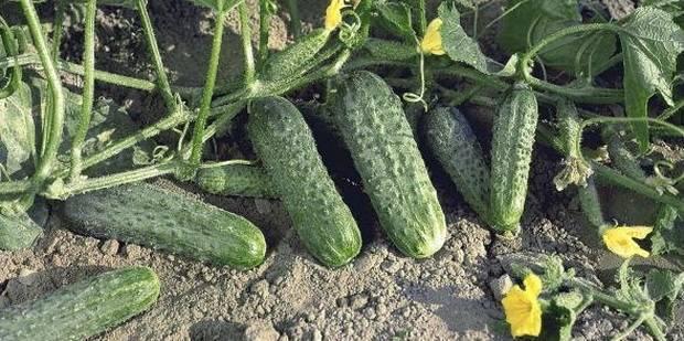 Описание сорта огурцов мирабелла, особенности выращивания и ухода