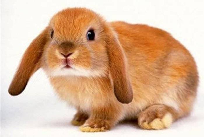 Вислоухий кролик: особенности породы, уход и содержание в домашних условиях