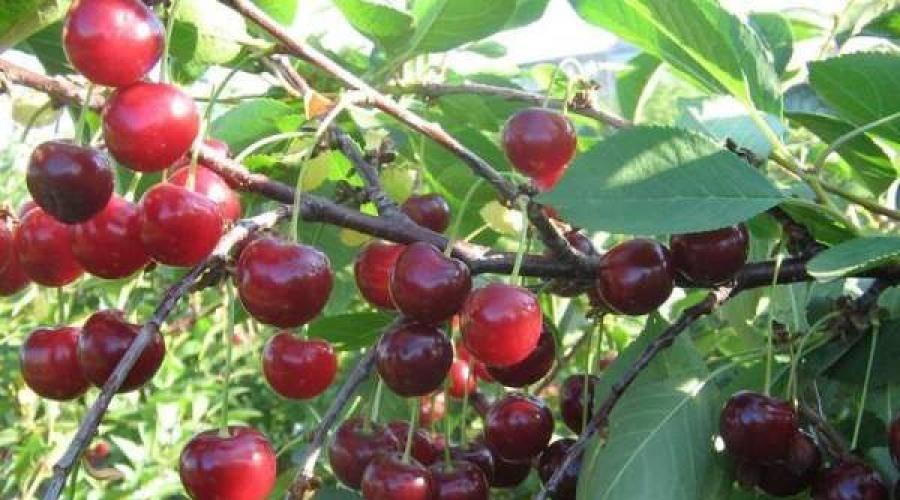 Вишня расторгуевская: описание, полное руководство по выращиванию