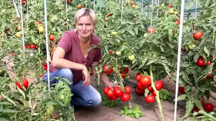 """Томат """"оля"""": описание сорта, особенности выращивания, фото"""