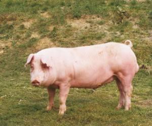 Свиньи породы ландрас
