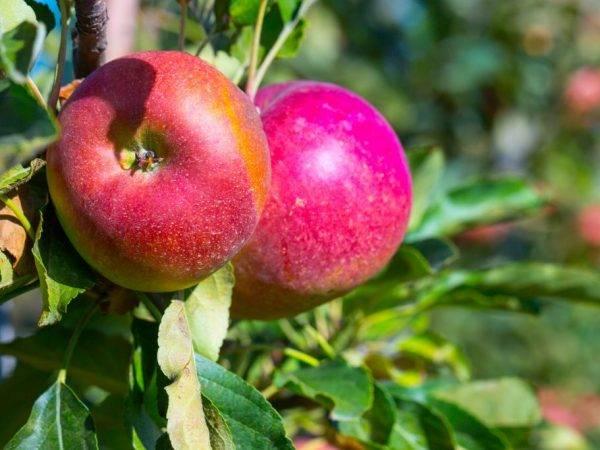Описание посадки и ухода яблони мантет