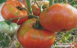 Описание сорта томата казачка и его характеристики