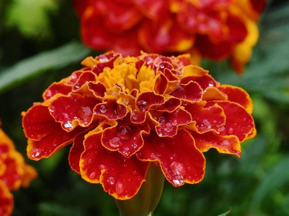 Цветки бархатцев — лечебные свойства, от чего помогают, применение