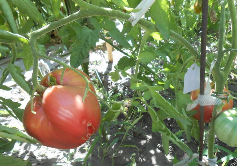 Характеристика и описание сорта томата «абаканский розовый» с фото и видео