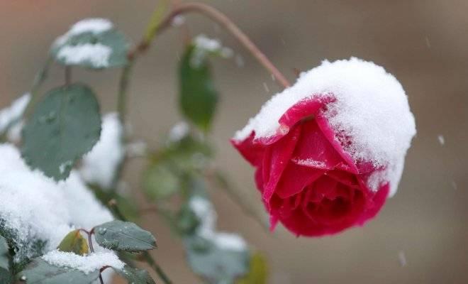 Как сохранить розы зимой в саду, чем укрыть, надо ли обрезать?