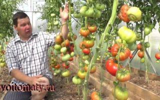Выращиваем на своем огороде томат «дикая роза» и наслаждаемся богатым урожаем крупных и сочных плодов