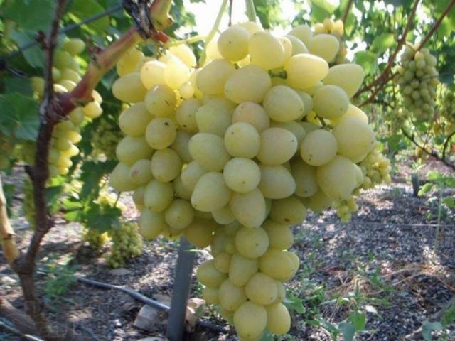 Описание винограда сорта Кокур, правила посадки и выращивания