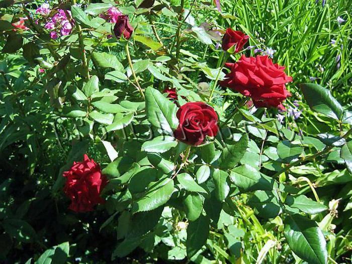 Описание сорта розы «черная магия». правила выращивания, фото