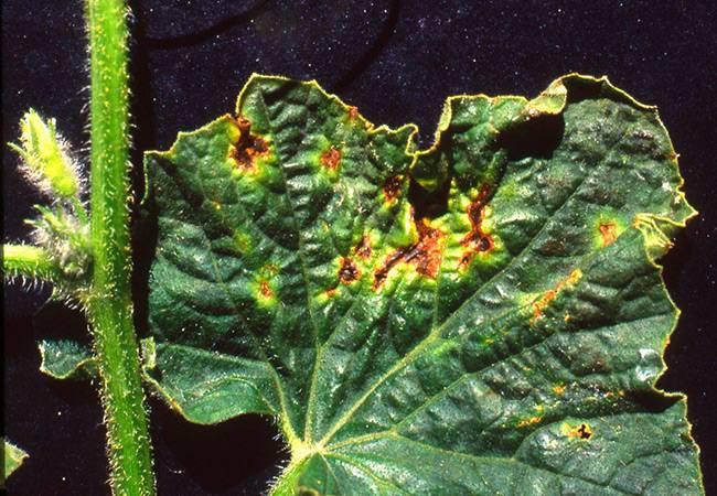 Ржавые пятна на листьях огурцов: причины и лечение