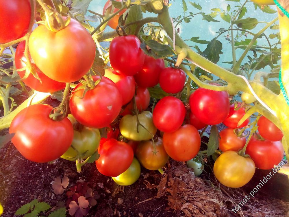 Томат аурия — описание сорта, урожайность, фото и отзывы садоводов