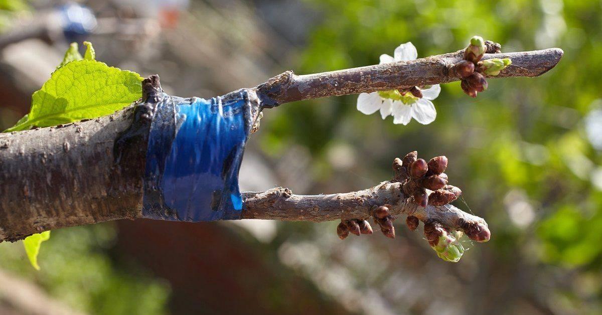 Прививка персика на сливу, или как добавить южному фрукту нордический характер