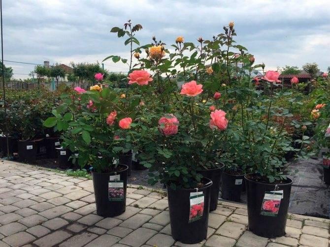 Роза плетистая розариум ютерсен: выращивание и уход