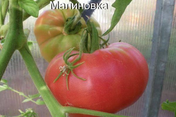 Сортовая характеристика томата иваныч