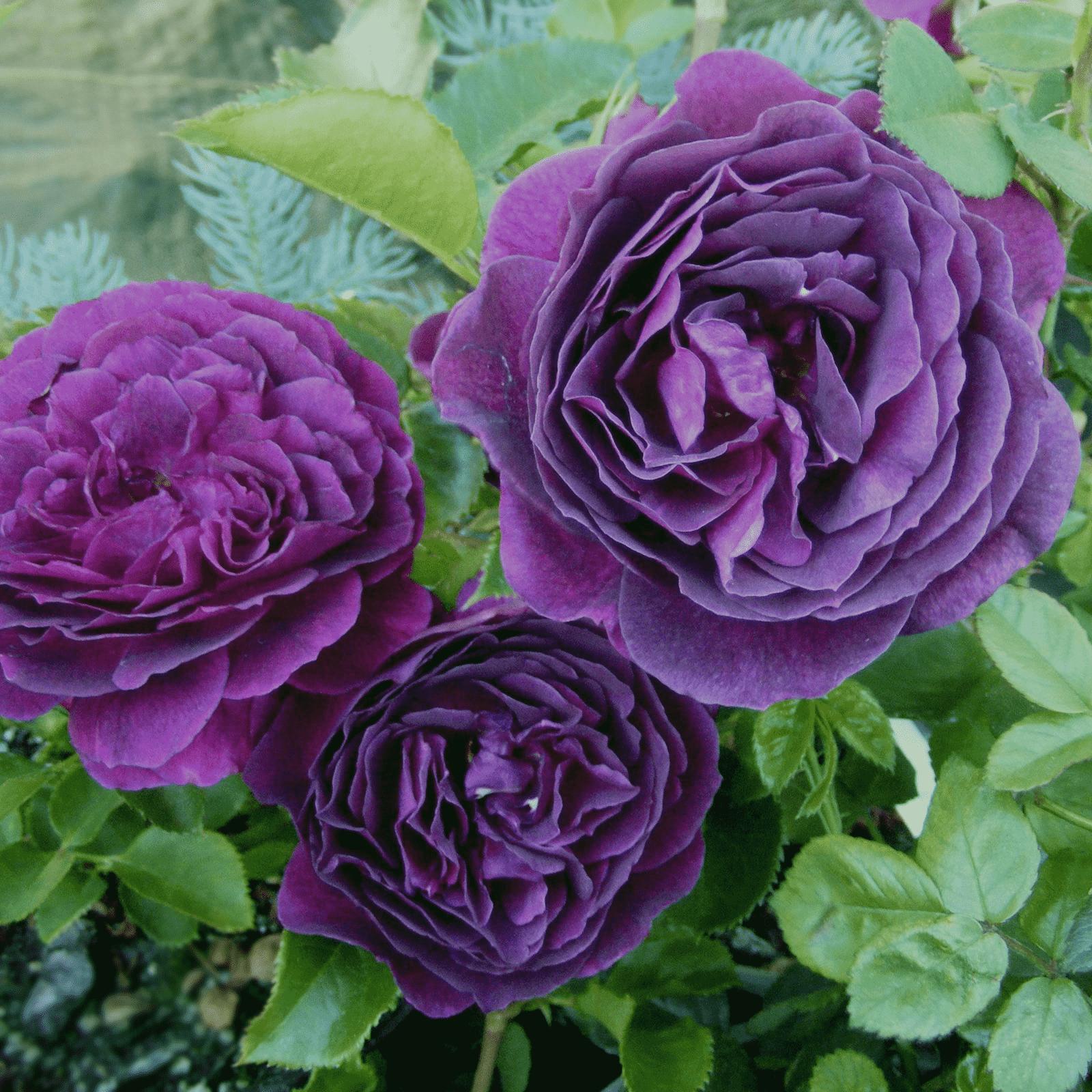 Фиолетовые розы — лучшие сорта для участка