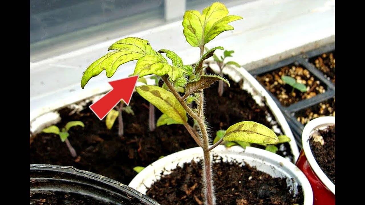 Рассада томатов желтеет – что делать для помощи саженцу
