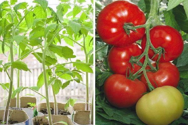 Урожайный малыш с хорошим иммунитетом – сорт томата «титан розовый»: описание и основные характеристики