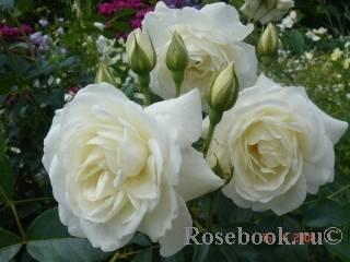 Знакомство с плетистой розой сорта жасмина. практические советы по выращиванию махровой красавицы