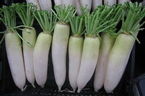 Описание сорта редьки ред мит, особенности выращивания и урожайность