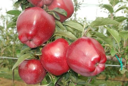Топ-9 самых вкусных яблок зимних сортов с фото