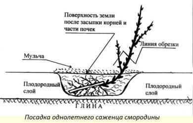 На каком расстоянии сажать плодовые деревья друг от друга