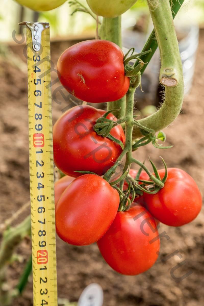 Томат великосветский — описание сорта, отзывы, урожайность